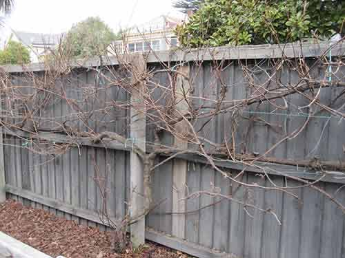 Pruning a grapevine john 15 liturgy - How to prune and train the grapevine ...